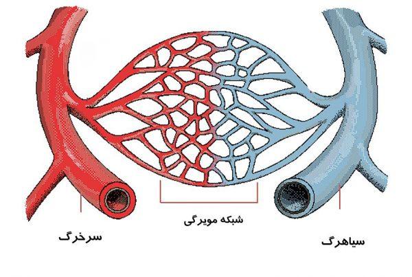 انواع رگ های خونی